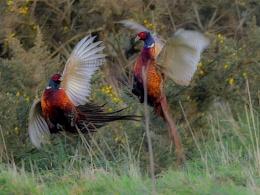 Cock Pheasants