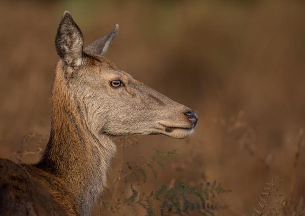 Nice portrait Deer by philgood