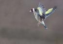 Flight of the Goldfinch by MarkBullen