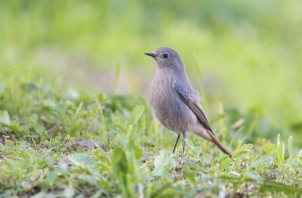 Black Redstart by alcontu