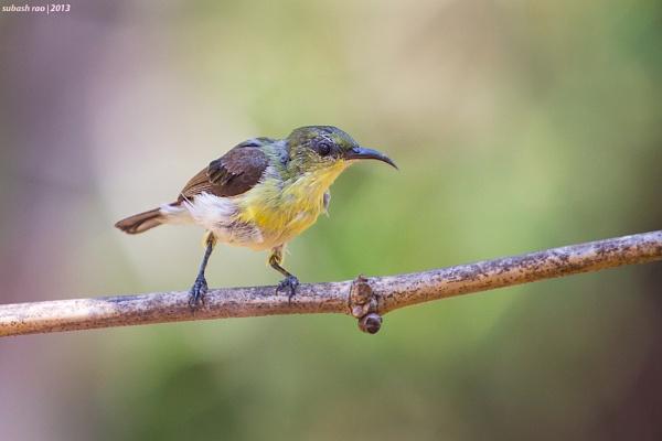 Purple Sunbird [Female] by subashcr