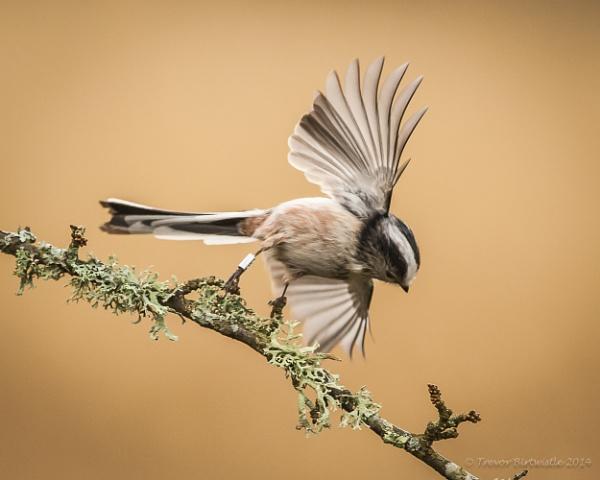 Long TailÂ….Small Wings by Trev_B