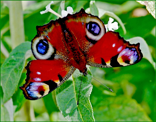Peacock Butterfly-Inachis io 02. by Badgerfred