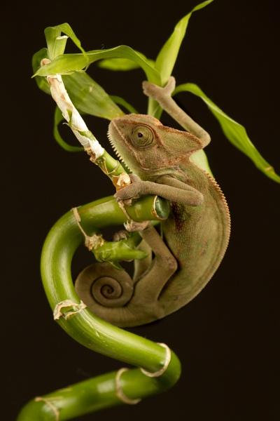 Yemen chameleon by Geofferz