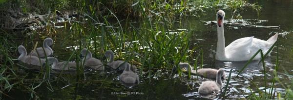 Swan family by SkySkape