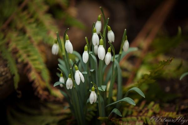 Snowdrops by OVrtnarHigi
