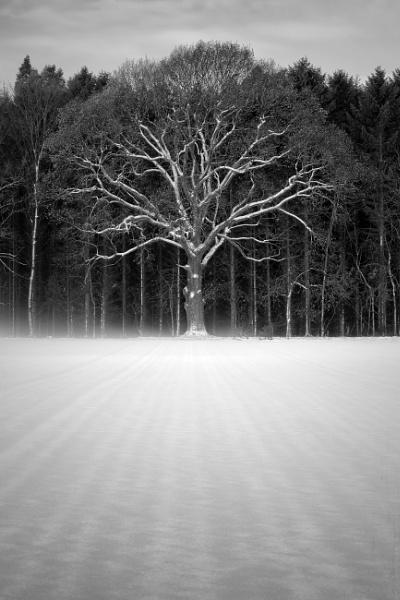 Beech Tree by GHGraham