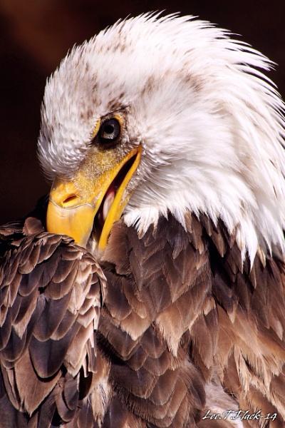 American bald eagle by photoflacky