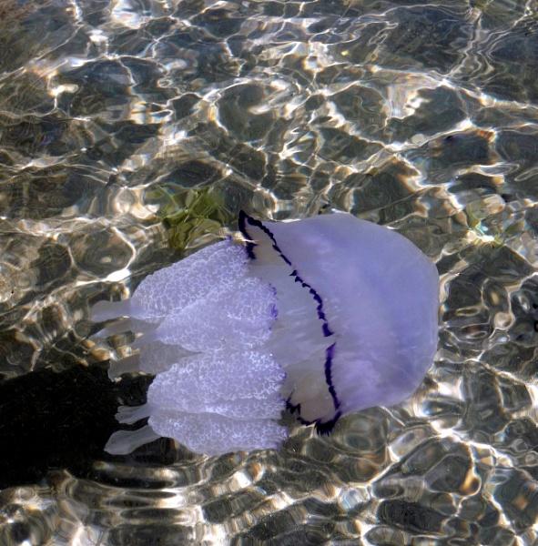 Medusa [Jellyfish] by HELANA