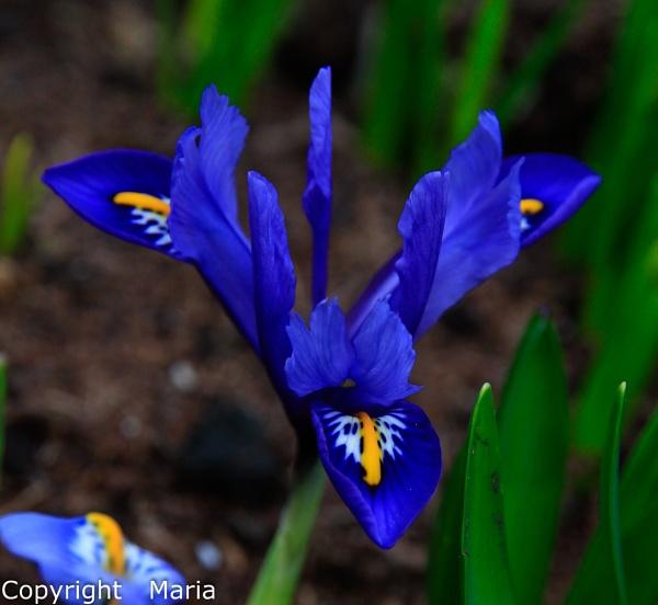 Miniature Iris by MariaElaine