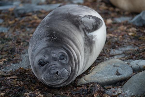 Elephant Seal Pup,Whale Beach,East Falkland by Kim Walton