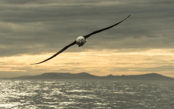 Black-browed Albatross ,Falkland Isles. by Kim Walton