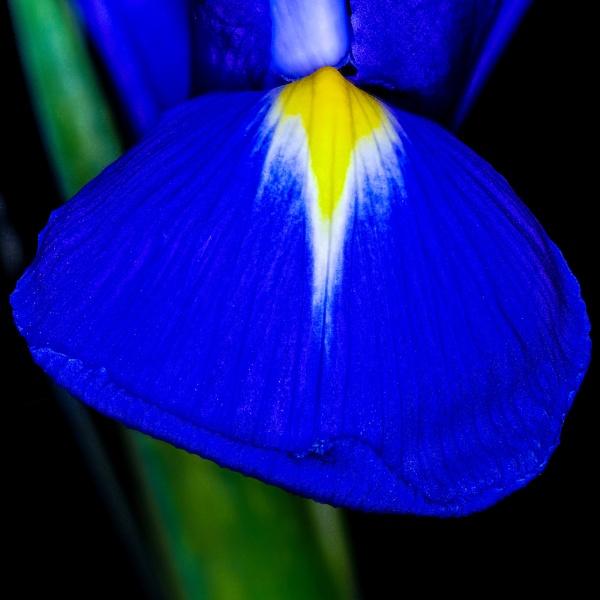 Iris by HBJ