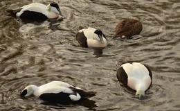 Ducking Ducks
