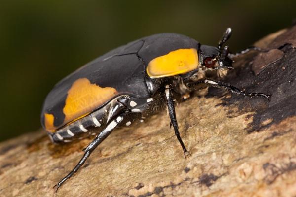 Sun Beetle by Baden
