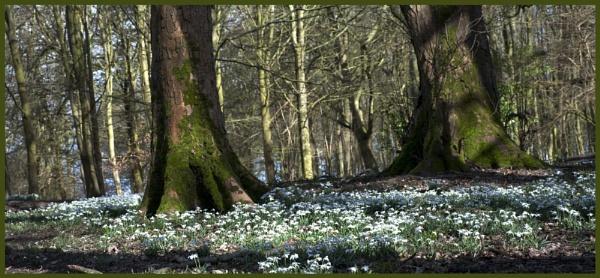 White Carpet by foxdownspringflower