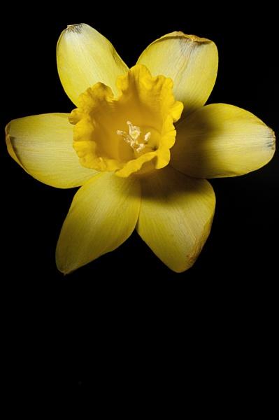 Daffodil 1 by marcun