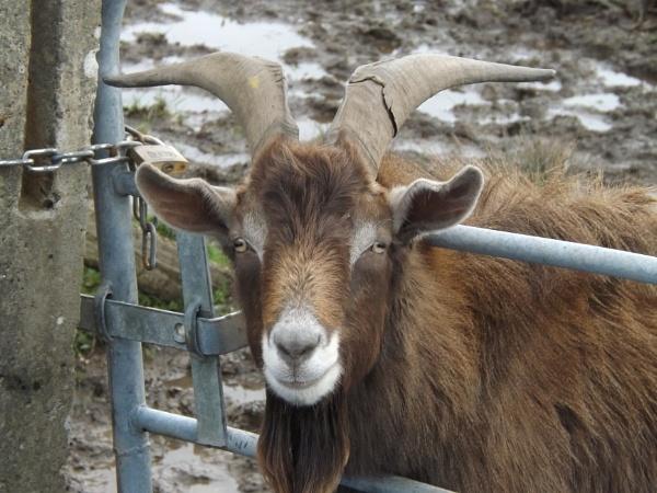 Billy Goat by scruffytrafford