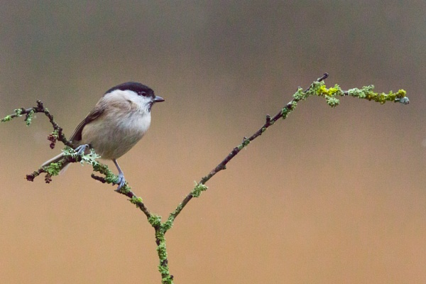 Posing Marsh Tit by MarkBullen