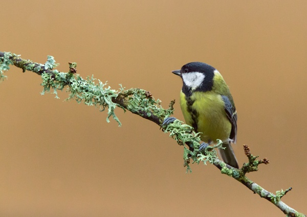 Great Tit by MarkBullen