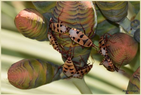 Welwitschia bugs by ColleenA