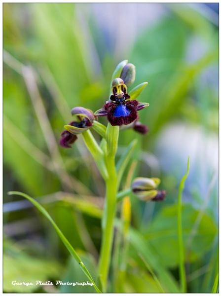 Ophrys speculum by GeorgePlatis