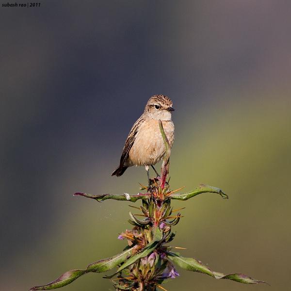 Common Stonechat [Female] by subashcr