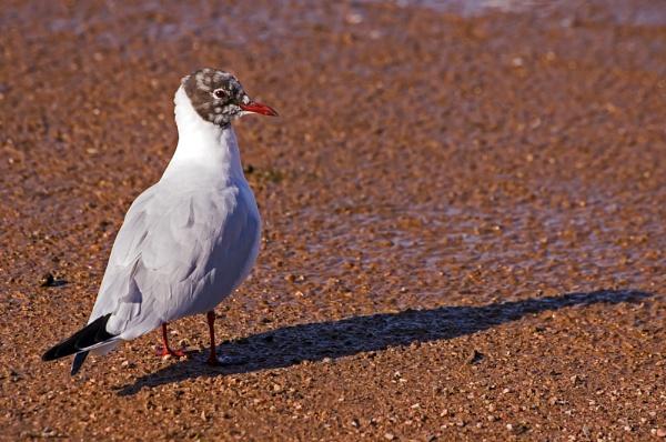 Juvenile Gulls - I think? by franken