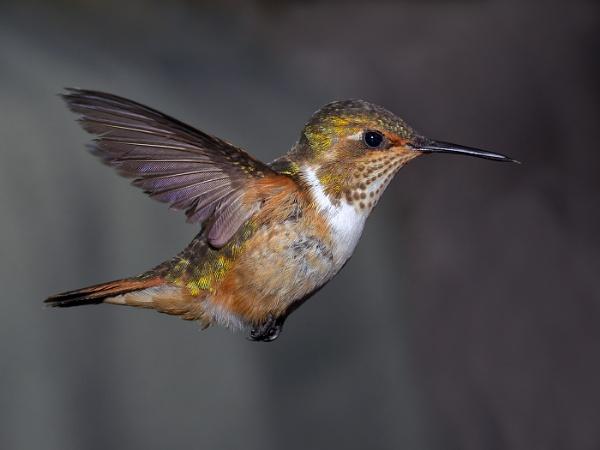 Male Volcano Hummingbird by Jamie_MacArthur