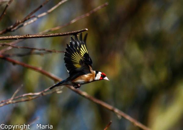 Goldfinch in Flight by MariaElaine