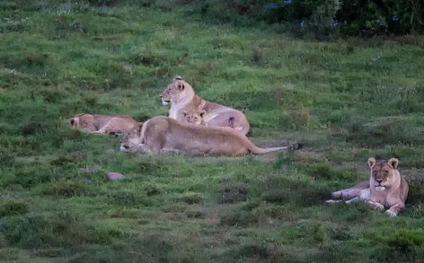 Lion Family by sdixon2380
