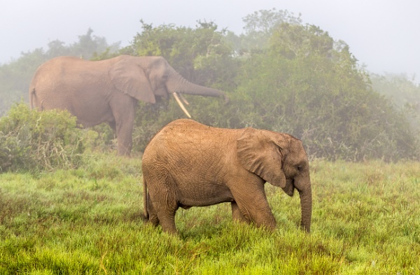 Elephants in the morning mist by sdixon2380