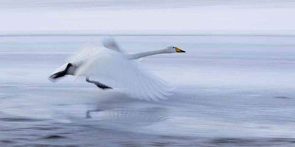 Whooper swan by hibbz
