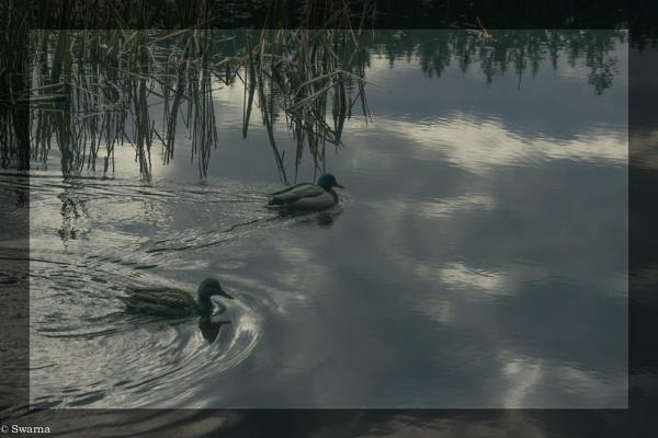 Ducks - Stanley Park, Vancouver BC by Swarnadip