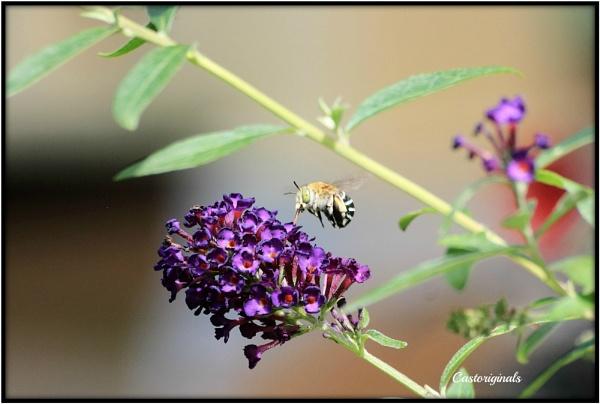 Blue Banded Bee Breakfast by Lynniesefforts