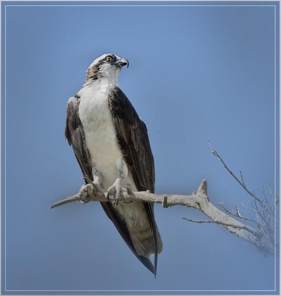 Osprey by Fotofunguy