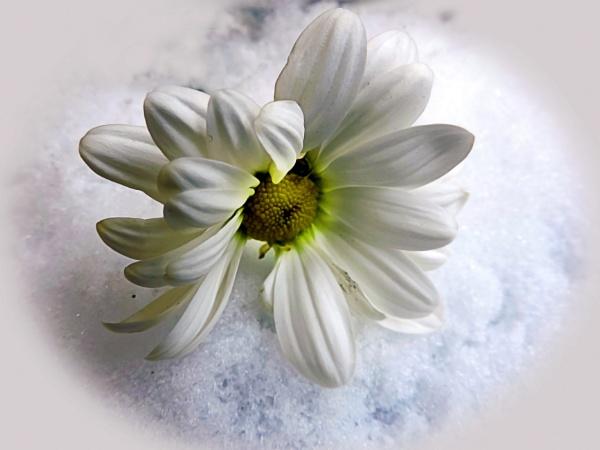 197-white flower by binder1