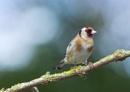 Back Garden Goldfinch by MarkBullen