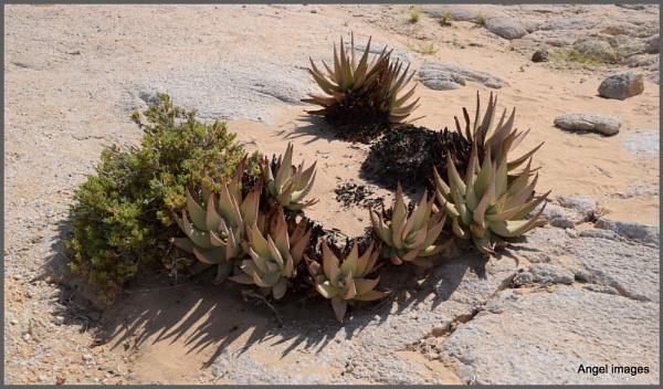 Xerophites....survival in the desert by ColleenA