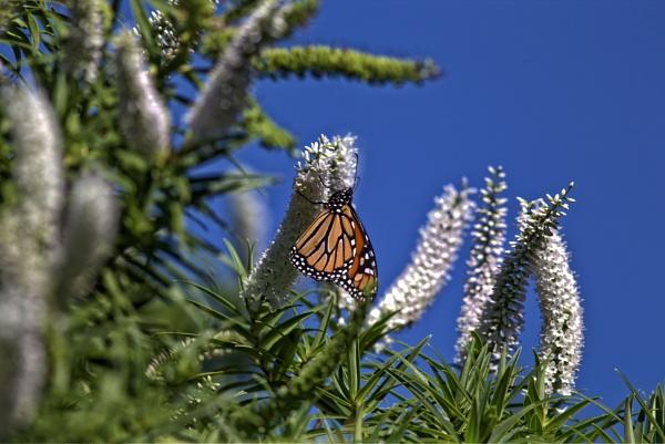 Beautiful Monarch Butterfly by photopix12