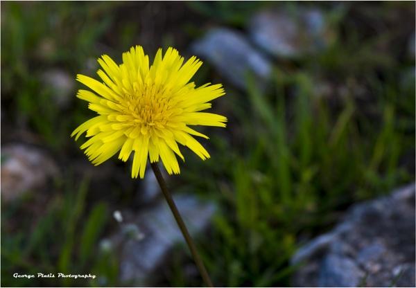 Dandelion by GeorgePlatis