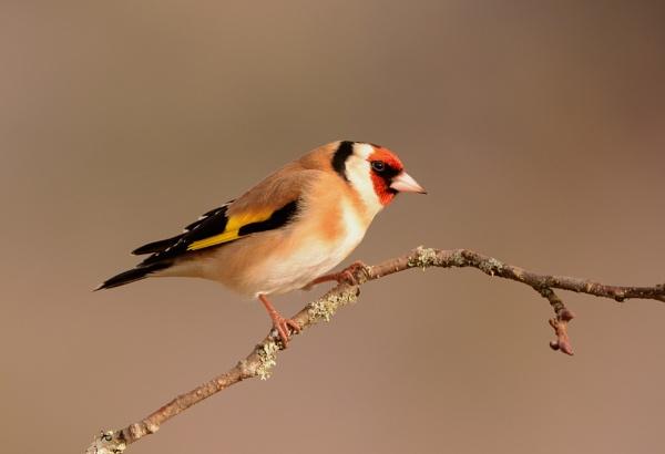 Goldfinch by AlexAppleby