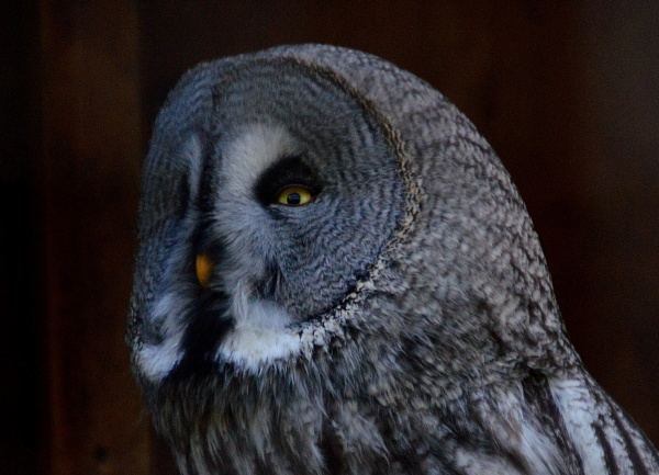 Great Grey Owl by Brovy
