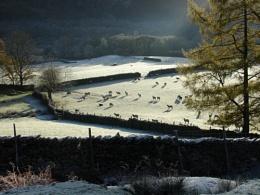 Borrowdale sheep