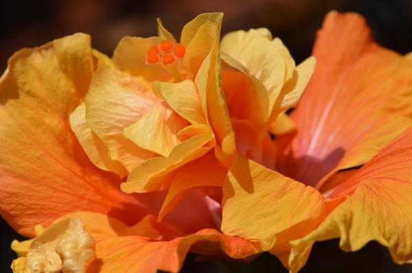 Hibiscus by alcontu