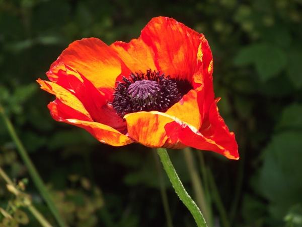Oriental Poppy by suetrickey