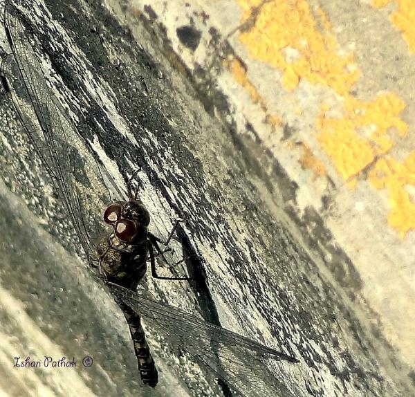 Dragon fly by IshanPathak