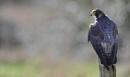 Peregrine Falcon (c) by VinceJones