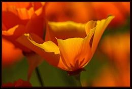 Poppies in Sunlight