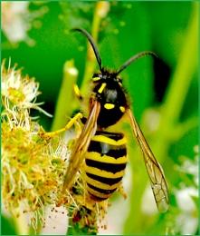 Tree Wasp-Dolichovespula sylvestris.